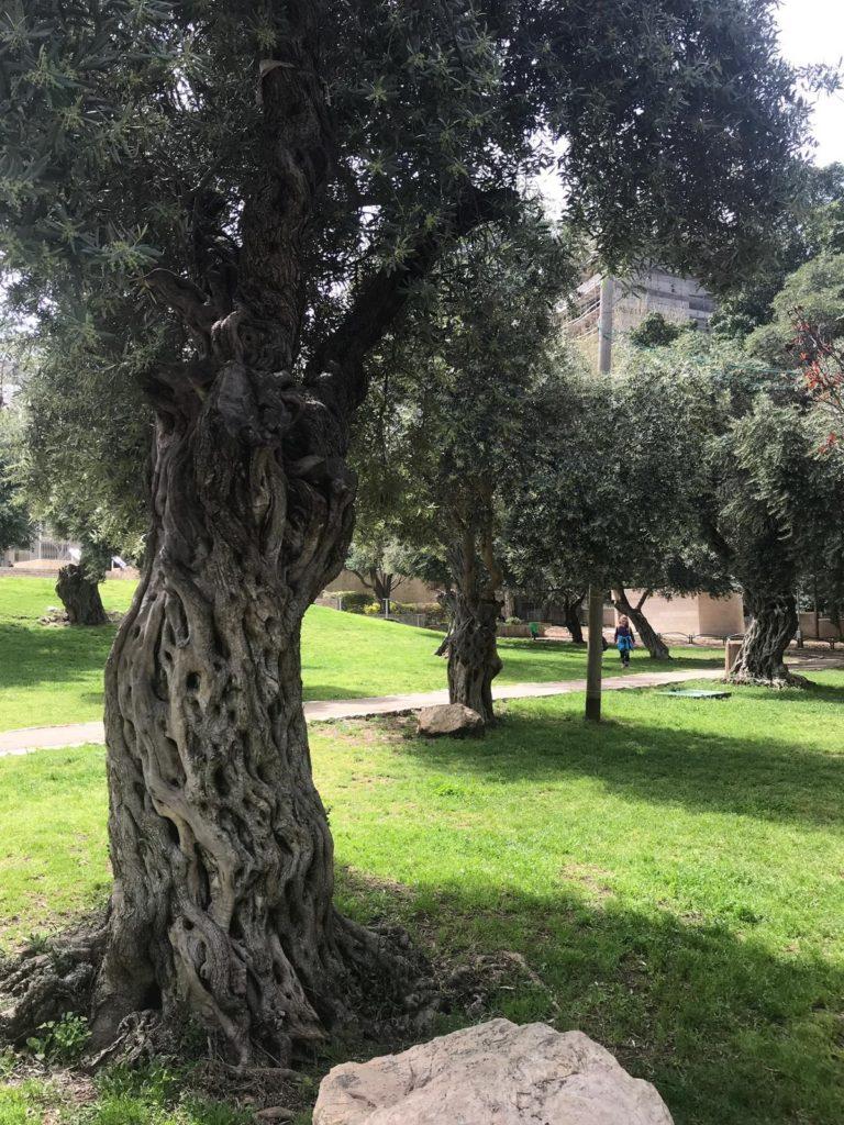 גן בנימין עצי זית